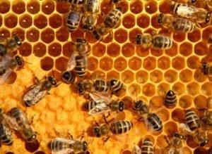 пчелен-прашец-ползи
