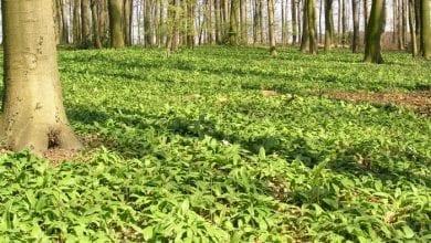 Photo of Див чесън (див лук) – от билка за готвене до лек за запек и глисти