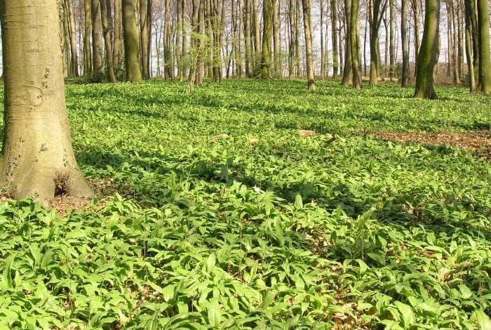 Photo of Див чесън (Левурда) – от билка за готвене до лек за запек и глисти