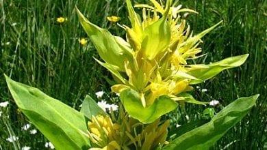 Photo of Жълта тинтява – билката при  колики, пясък в бъбриците и още 20 болести
