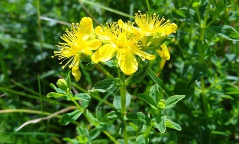 Photo of Жълт кантарион – билката при депресия и лекуване на тялото