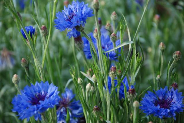 Photo of Синя Метличина –  5 ползи за здравето и приложение