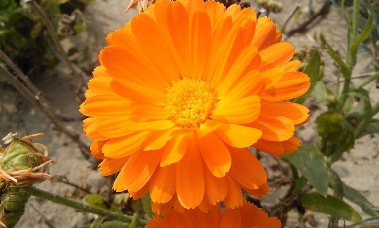 10 ползи за здравето от билката невен