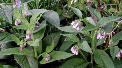 Photo of Черен оман ( зарасличе ) – мощна билка за щитовидна жлеза и още 10 болести