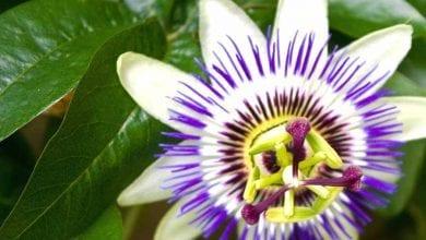 Photo of Пасифлора – мощният лек за циреи, за черен дроб и дори безсъние