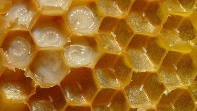 Photo of Пчелно млечице: 6 научно доказани ползи от приема му