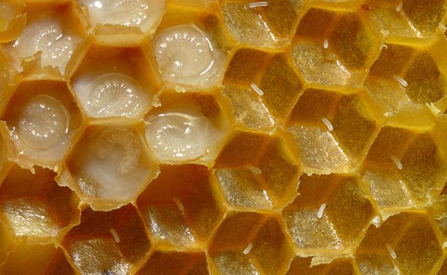 6 ползи за здравето от пчелно млечице
