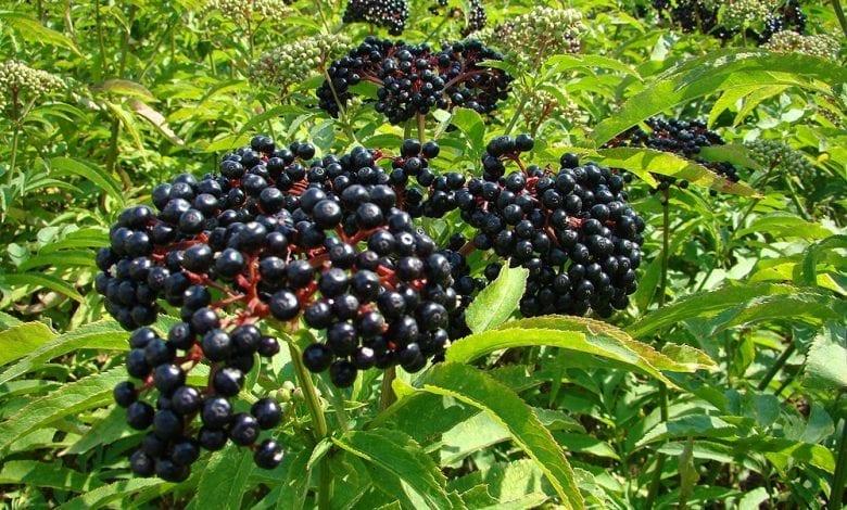 Photo of Черен бъз – мощната билка за имунна система + рецепти за сироп и чай
