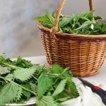 Чай от коприва: 6 ползи за здравето и как да го приготвим