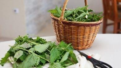 Photo of Чай от коприва: 6 ползи за здравето и как да го приготвим