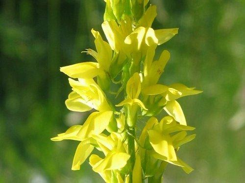 Жълта комунига