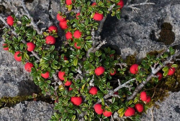 Photo of 7 невероятни ползи от Мечото грозде: Чай за бъбреци и цистит