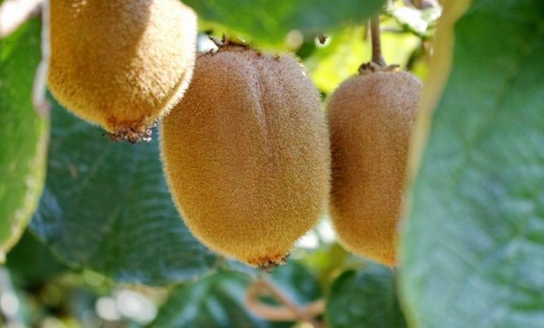 Photo of Киви: Какви витамини съдържа и Колко Витамин C има?