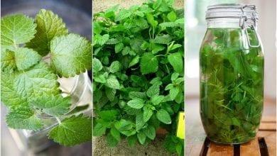 Photo of Маточина: незаменим чай за отслабване, за нерви и лечение