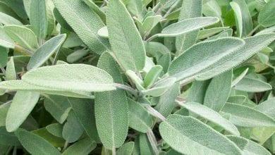 Photo of Градински чай: Отслабване и лечение – Над 10 доказани ползи за здравето