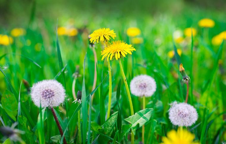 8 билки-които-детоксират-вашето-тяло-естествено-глухарче