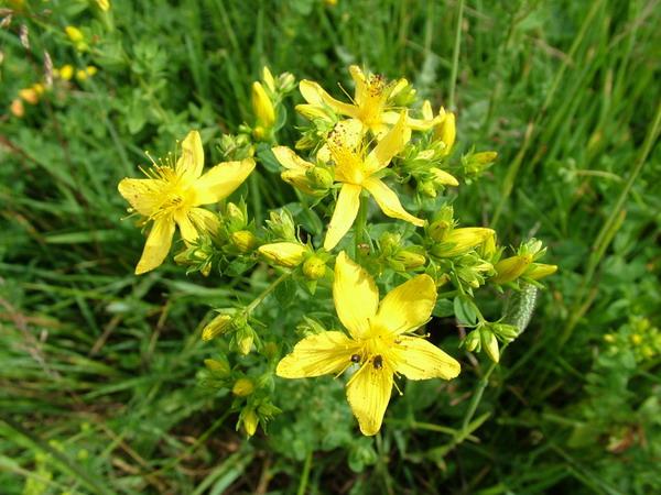 най-добрите-билки-и-добавки-депресия-жълт-кантарион