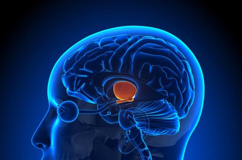 Хипоталамус-Анатомия-функция