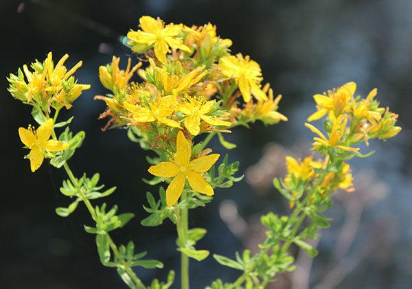 Photo of Жълт кантарион: Чай при депресия и странични ефекти